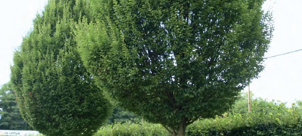 Stromy s úzkou korunou