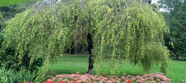 Stromy s převislou korunou