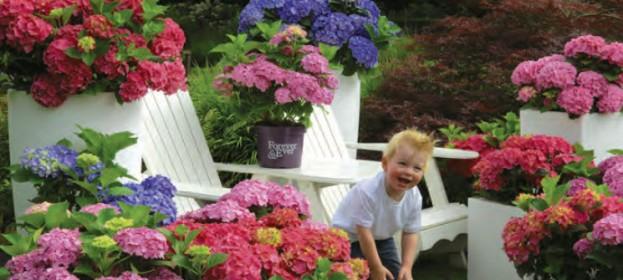 Hortenzie, které opravdu kvetou