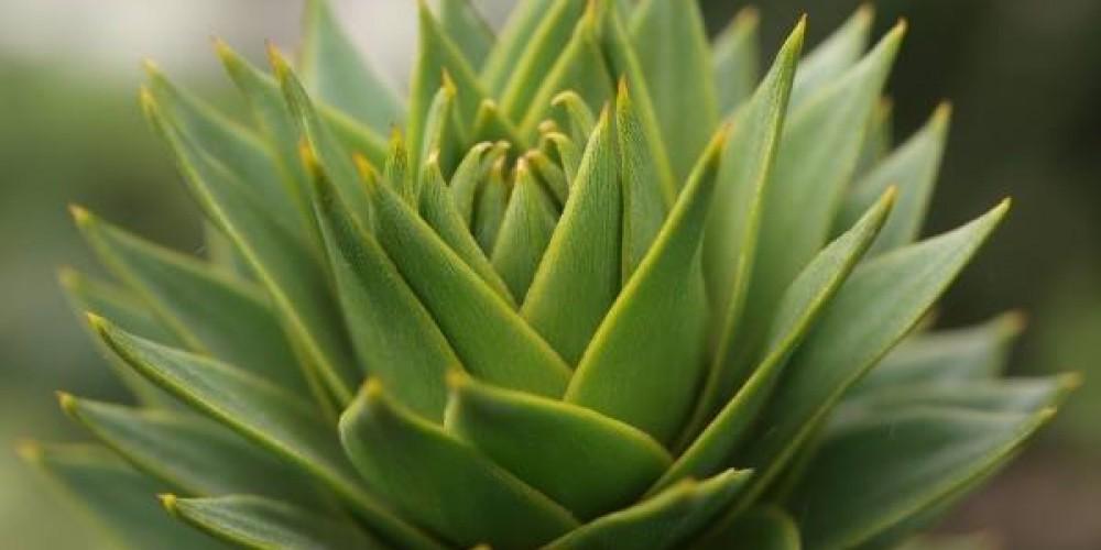 Araucaria – pozdrav z druhohor
