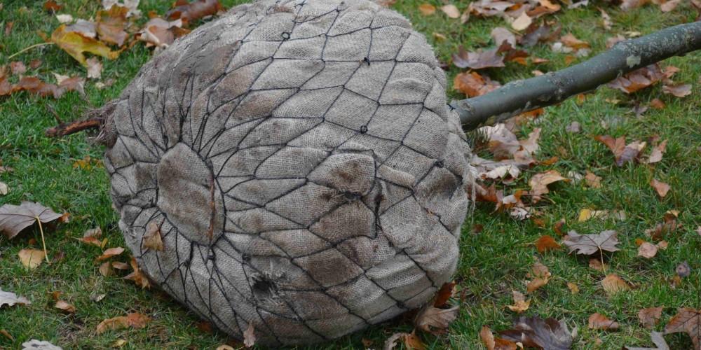 Výsadba listnatého stromu se zemním balem