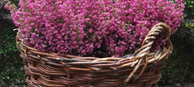 Erica gracilis – vřesovec