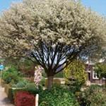PrunusNana