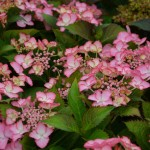 Hydrangea macrophylla 'French Can Can'